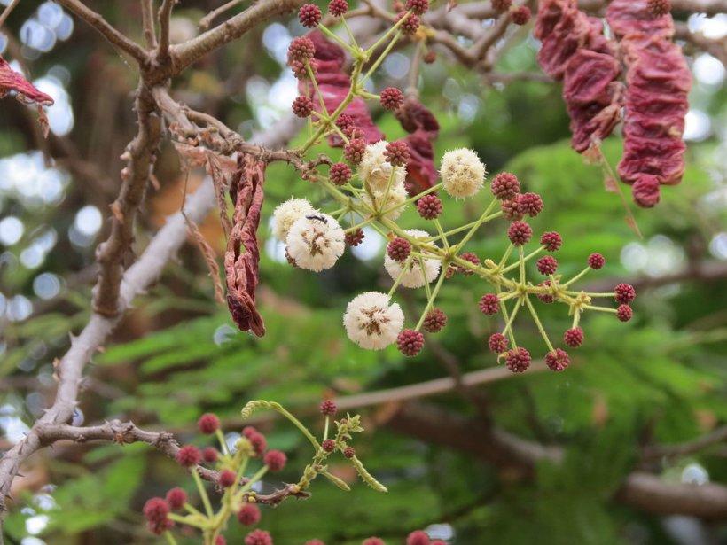 Шикакай (листья)