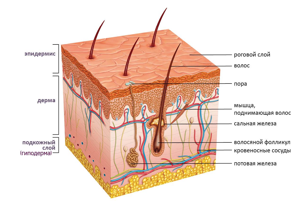 строение кожи головы
